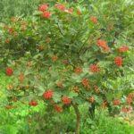 Калина — дерево