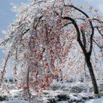 Дерево калины зимой