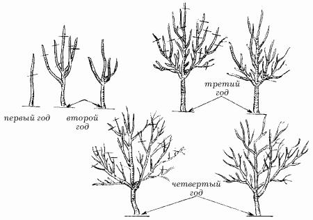 Схема формирования калины деревом
