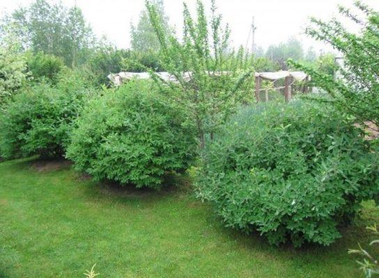 Живая изгородь из кустов жимолости