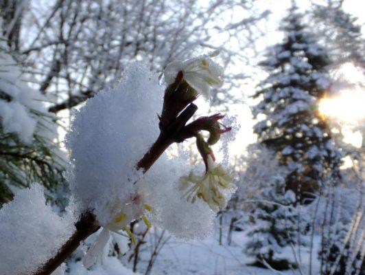 Цветущая жимолость под снегом