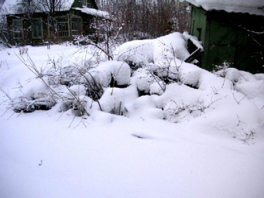 Жимолость под снегом