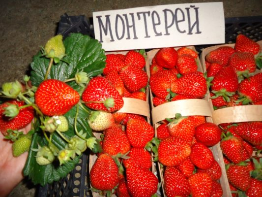Урожай клубники Монтерей