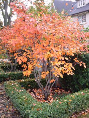 Куст ирги осенью