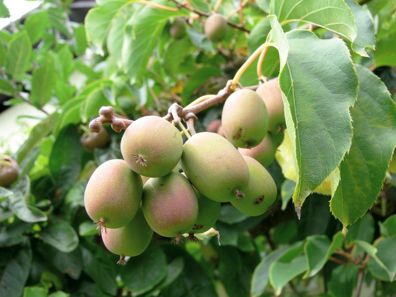 Актинидия плод