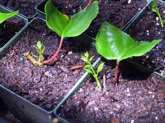 Размножение зелёными черенками
