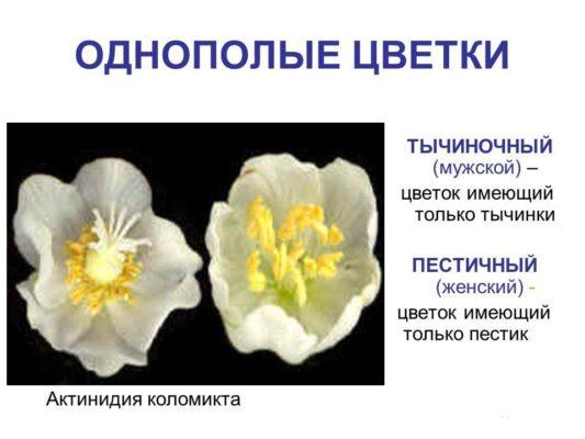 Различие цветков актинидии коломикта