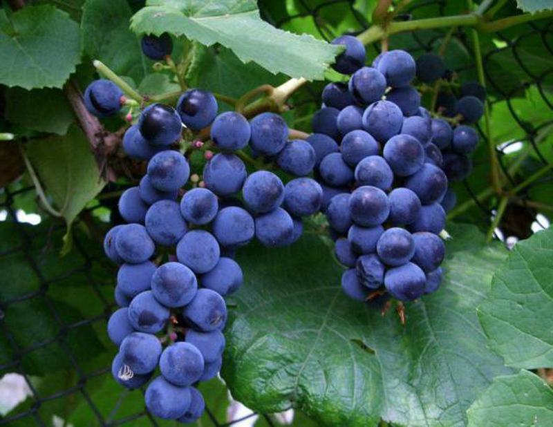 Виноград Загадка Шарова: характеристика сорта и особенности выращивания