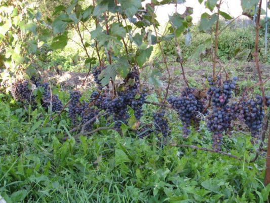 сорт винограда Загадка Шарова