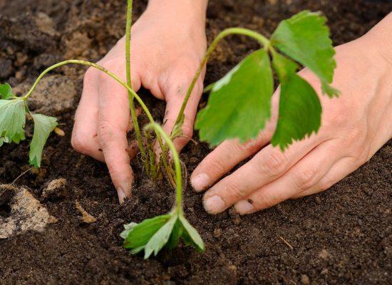 Уплотнение почвы руками возле кустика клубники