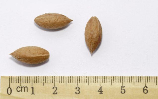 Семена кизила