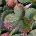 Бурая пятнистость на листве клубники