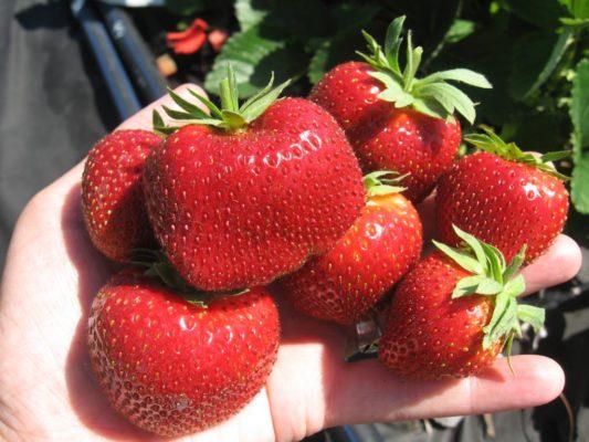 Плоды клубники Мальвина в руке