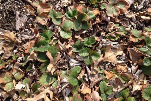 Клубника под опавшей листвой
