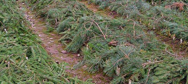 Лапник хвойных деревьев на грядках