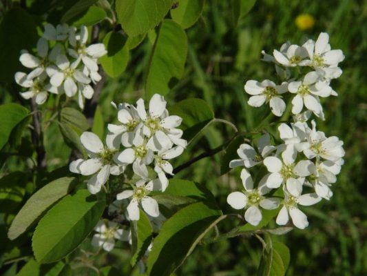Цветки ирги канадской