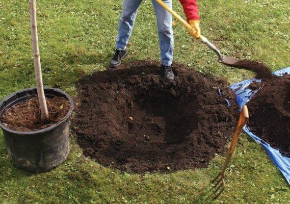 Подготовка посадочной ямы для ирги
