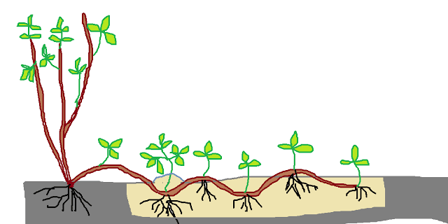 Размножение актинидии отводками