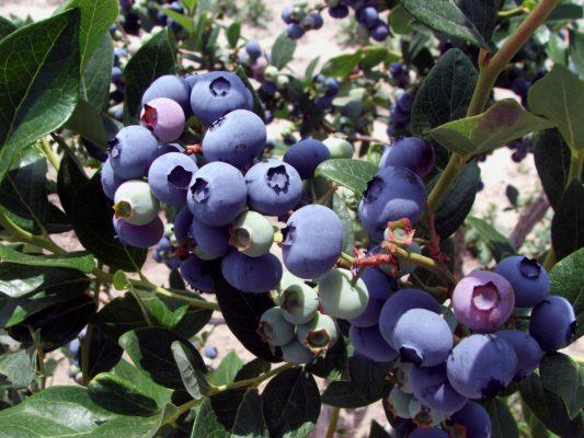 Голубика садовая Элизабет