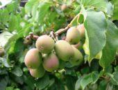 Актинидия славится своими сочными плодами