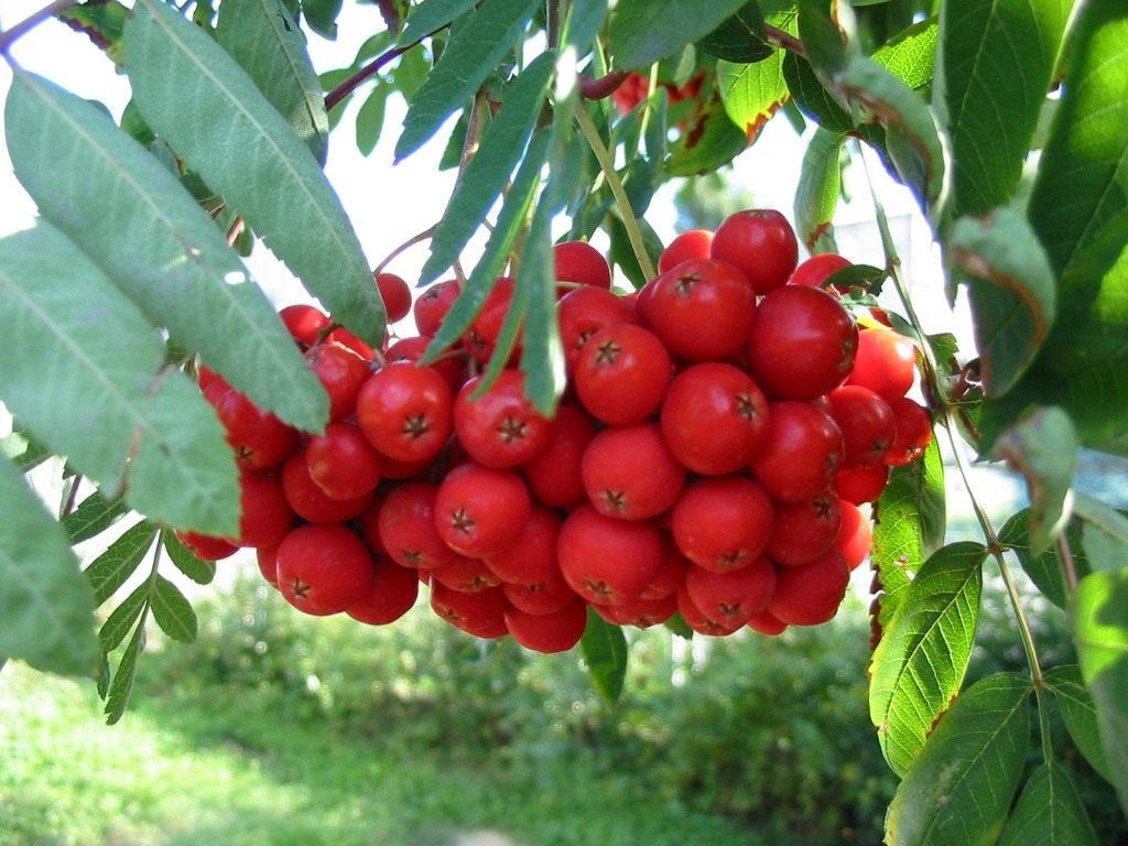 Виды и сорта рябины Ликерная Титан Алая крупная Садовая Рубиновая и другие
