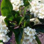 Арония черноплодная весной