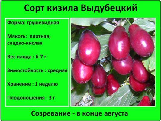 Сорт кизила Выдубецкий