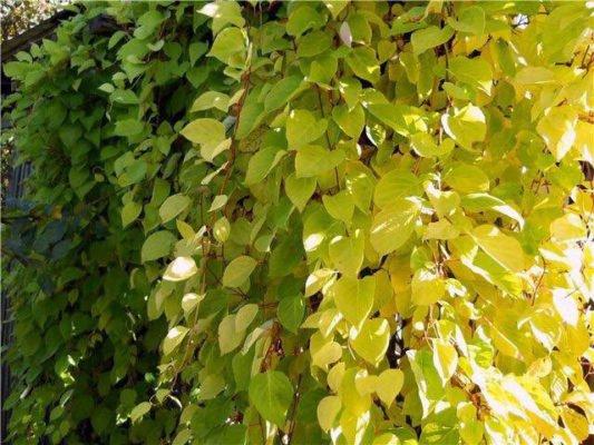 Лимонник китайский осенью