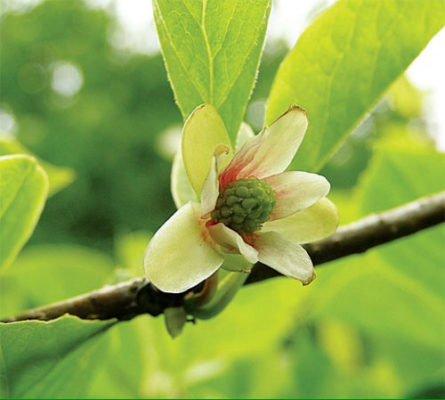 Цветок лимонника китайского