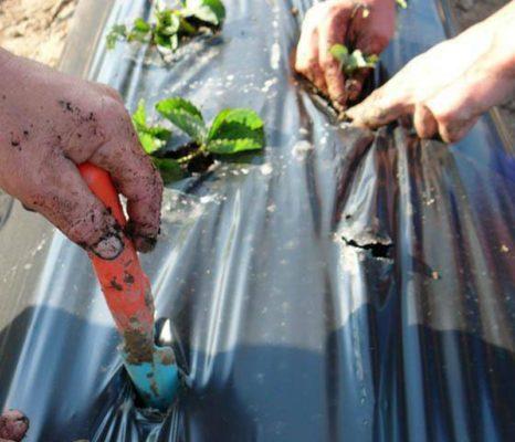 Посадка рассады клубники на плёнку