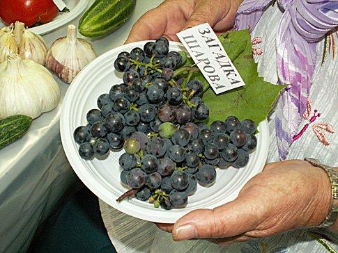 Ягоды винограда Загадка Шарова