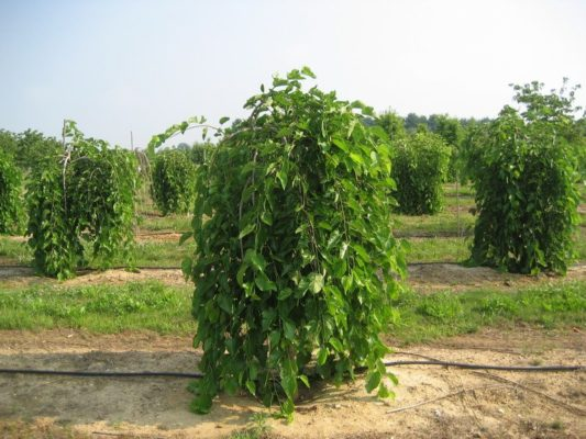 Шелковица в форме куста