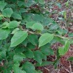 Actinidia arguta листья