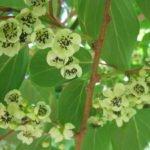 Actinidia arguta цветки мужские