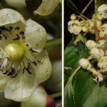 Actinidia arguta цветки женские