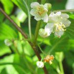 Actinidia kolomikta цветки мужские