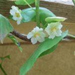 Actinidia kolomikta цветки женские