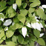 Листья актинидии полигама