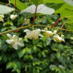 Мужские цветки актинидии полигама