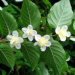 Женские цветки актинидии полигама