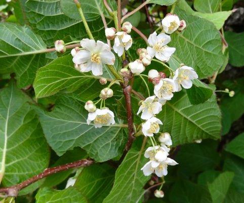 мужские цветки актинидии