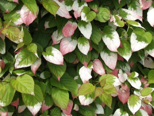 листья актинидии коломикта