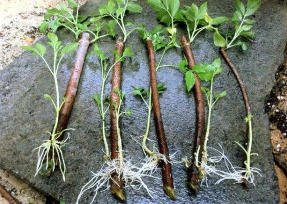 Черенки ежевики с корнями