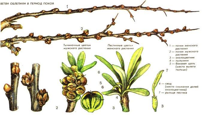 Признаки мужских и женских растений облепихи