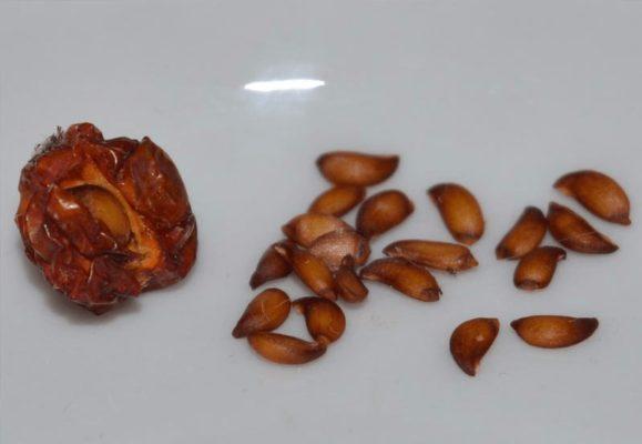 Семена рябины