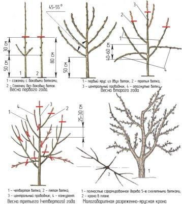Схема обрезки рябины