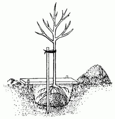 Правильное размещение корневой шейки саженца