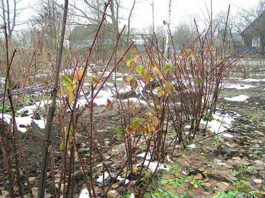 Кусты ежевики весной