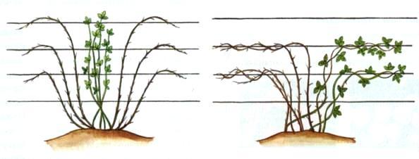Веерная подвязка ежевики