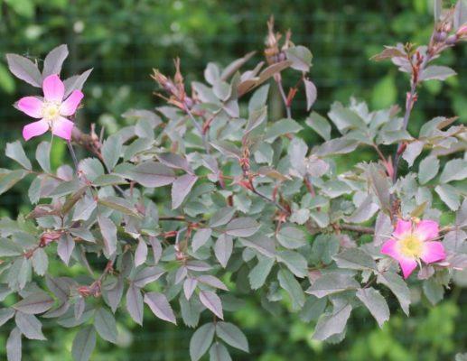 Листья шиповника